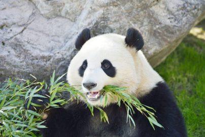 上野のパンダ発情で株価上昇、どんなロジックなの?のサムネイル画像