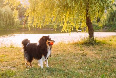「取り残される」か「変化」か 牧羊犬としての生き方のサムネイル画像